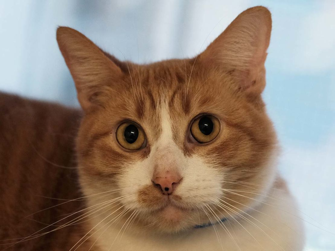 cat with orange face, a white muzzle, a pink nose and an orange splotch on left upper lip looks at camera