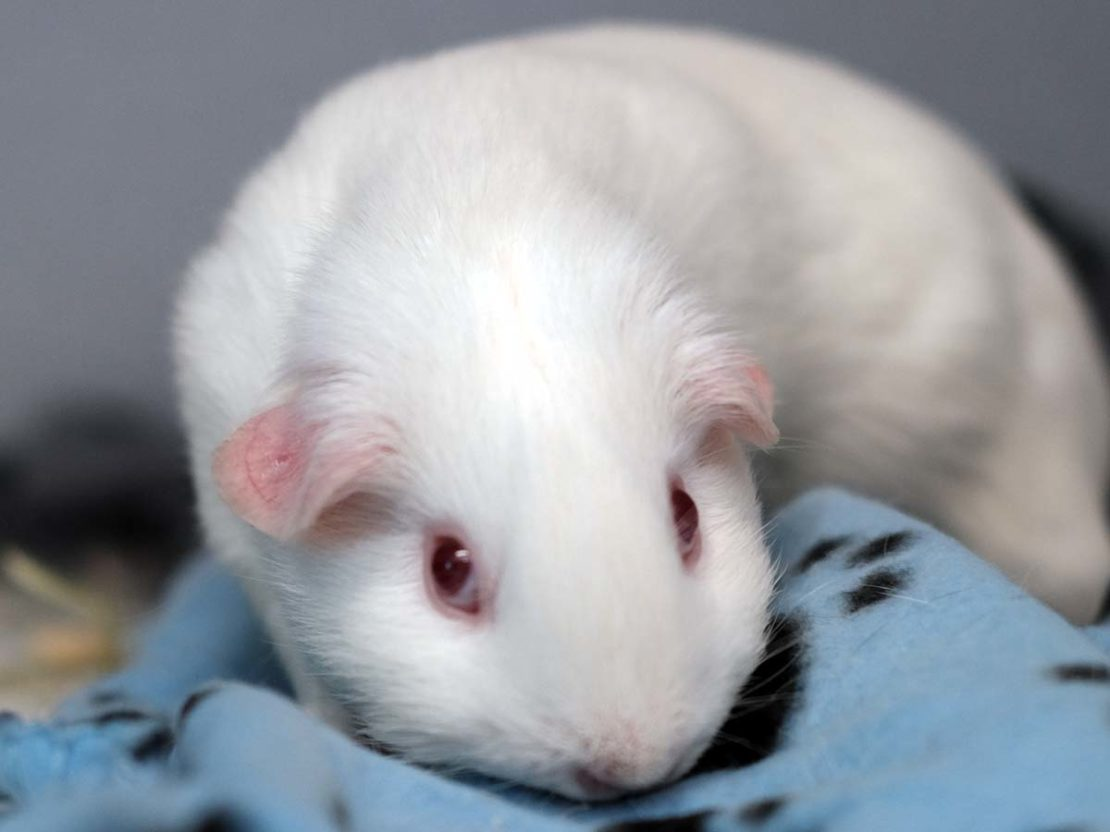 white guinea pig with pink eyes lies on a blue blanket with black pawprints